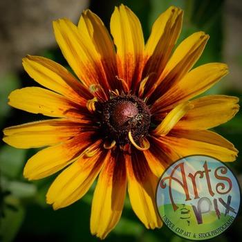 """! """"Black Eyed Susan"""" Stock Photo - Flower - CloseUP - FREE"""