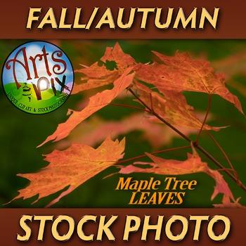 """! """"FALL leaves: Sugar Maple Tree 2"""" - Photograph - Fall Le"""