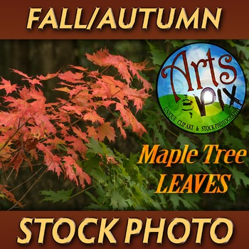 """! """"FALL leaves from a Sugar Maple Tree"""" - Photograph - Fal"""