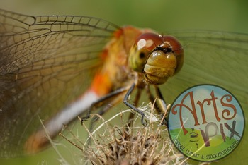 """! """"Red Dragonfly"""" - Insect - Stock Photo -Macro CloseUP"""
