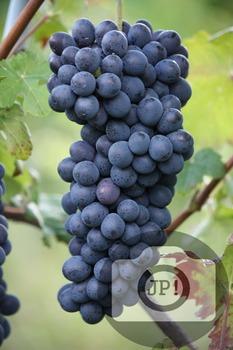 109 - GRAPES - Barbera grapes [By Just Photos!]