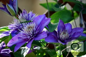 141 - FLOWERS - Clematis  [By Just Photos!]