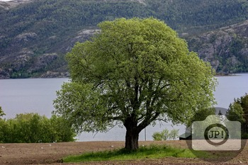 144 - NATURE NORWAY - Tree[By Just Photos!]