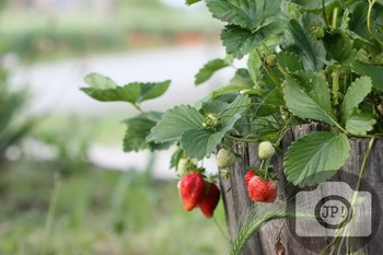 183 - VEGETABLES, STRAWBERRY [By Just Photos!]