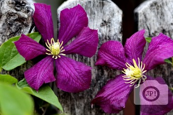 161 - FLOWERS - Clematis  [By Just Photos!]