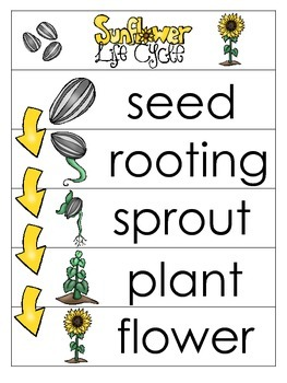 3 Sunflower Life Cycle Charts and Worksheets. Preschool-1s