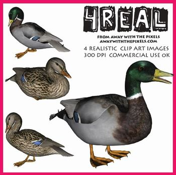4 Real! 4 Realistic Duck Clip Art Images - Large High Qual
