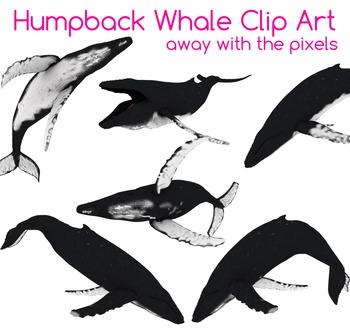 4 Real! Realistic Humpback Whale Clip Art - Atlantic, Paci