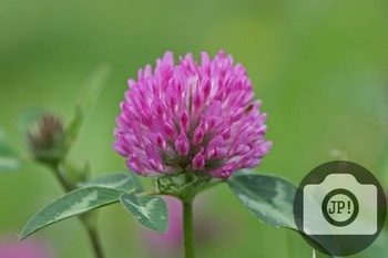 58 - FLOWERS - red clover [By Just Photos!]