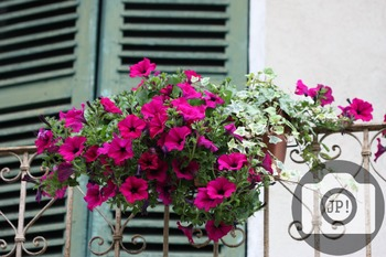 61 - FLOWERS - surfinia, petunia [By Just Photos!]