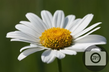 64 - FLOWERS - oxeye daisy [By Just Photos!]
