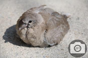89 - BIRD - Dove [By Just Photos!]
