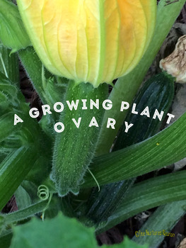 A Growing Plant Ovary