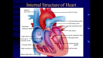 AP Biology Review - The heart and tissue fluid - ppts, ass