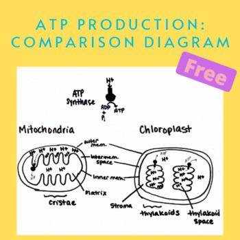 ATP Production in Mitochondria vs Chloroplast