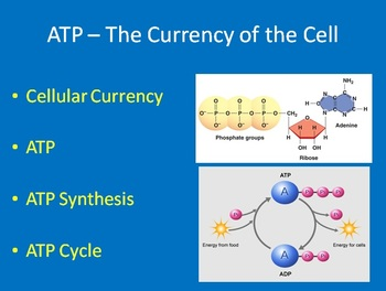 ATP: The Currency of the Cell - Biology PowerPoint Lesson