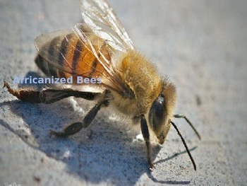 Africanized Bee - Power Point Facts History Pictures - Killer Bee