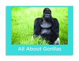 All About Gorillas Non-Fiction Book PK-1