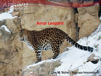 Amur Leopard - endangered - Power Point - information fact