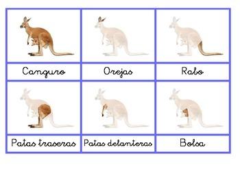 Anatomía del canguro