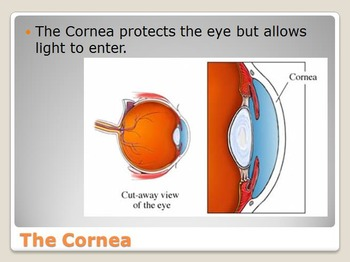 Anatomy - Human Body - Sense of Sight w/worksheet (POWERPOINT)