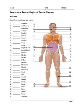 Anatomy Regional Terms Worksheet