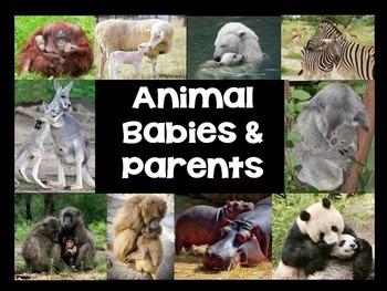 Animal Babies & Parents- Complete Nonfiction Resource- Clo