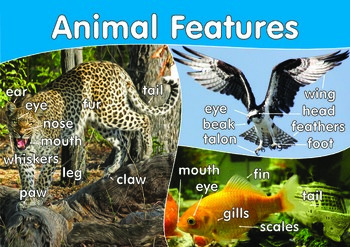 Animal Features Poster. A3. Early Years