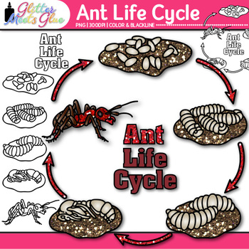 Ant Life Cycle Clip Art {Great for Animal Groups, Insect,