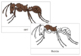 Ant Nomenclature Cards