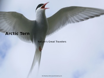 Arctic Tern - Bird - Power Point - Information Pictures Fa
