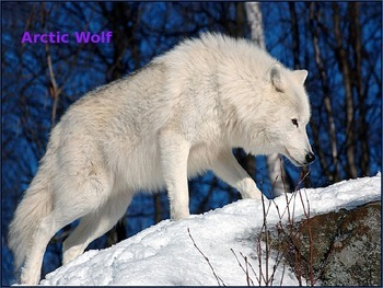 Arctic Wolf - Power Point - Information Facts History Pict