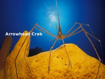 Arrowhead Crab - Power Point - Information Facts Pictures