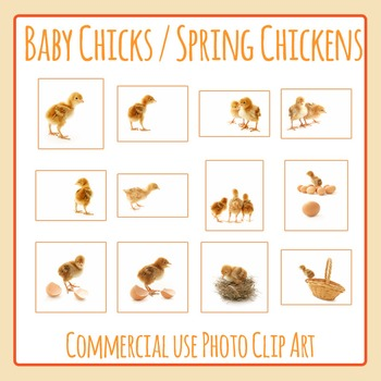Baby Chick - Spring Chickens Photo / Photograph Clip Art S