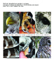 Barred Owl Adaptations