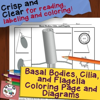 Basal Bodies, Cilia, and Flagella Diagram Coloring Page an