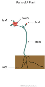 Basic Parts of A Plant