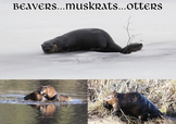 Beaver, Muskrats & Otters (photos for commercial use)