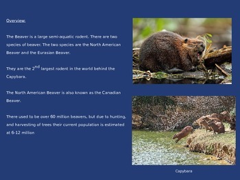 Beaver Power Point 10 Slides Information Facts Everything
