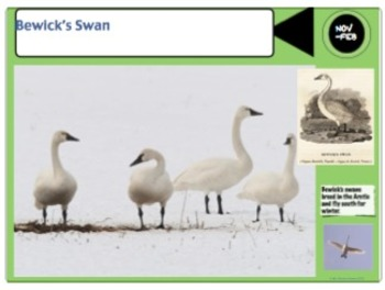 Birds of the UK Powerpoint and Quiz