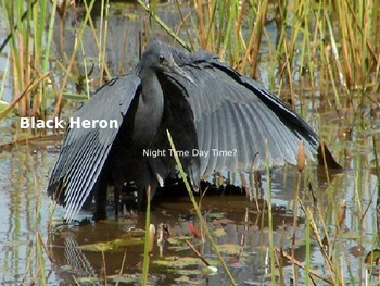 Black Heron - Bird - Power Point Information Pictures Facts