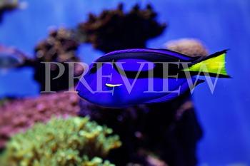 Blue Tropical Fish Stock Photo