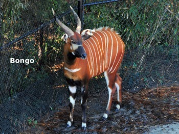 Bongo - Endangered Species Power Point - Great information