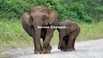 Borneo Elephant - Power Point - Facts Information Pictures