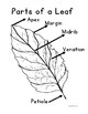 Botany: Leaves