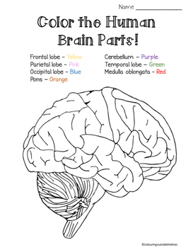 Brain Parts - Cut & Paste AND Color the parts worksheet