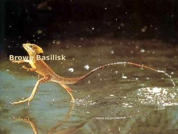 Brown Basilisk - walk on water lizard Power Point Informat