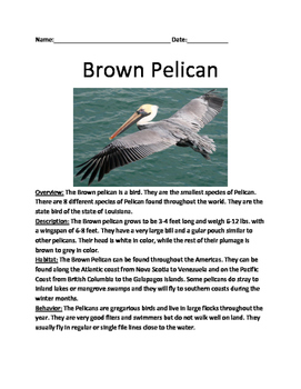 Brown Pelican - Review Article lesson information facts qu