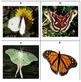 Butterflies & Moths Picture Set for Quiz Board