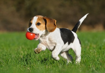 Calendar Featuring Beagles for August 2015 to July 2016